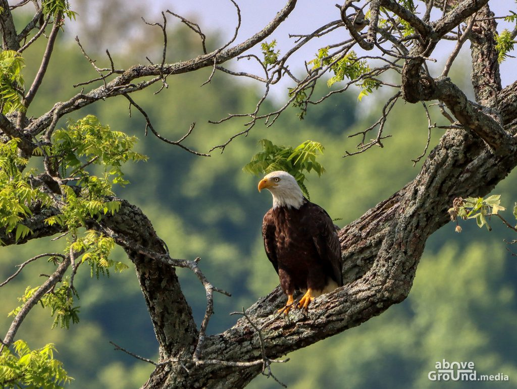 Bald Eagle in Carter County, TN