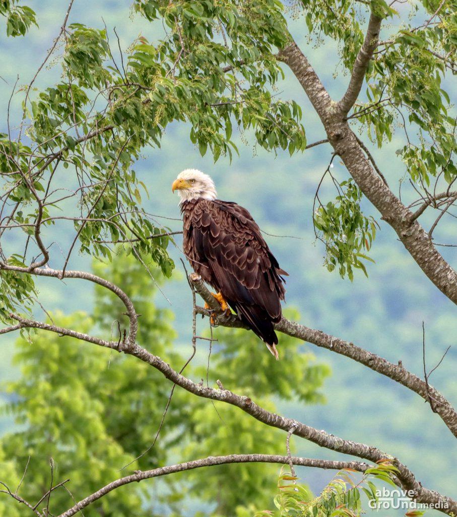Bald Eagle in Carter County, TN